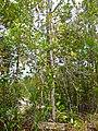 Ubah Mempoyan (Syzygium multibracteolatum) (15581051737).jpg