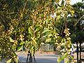 Ulmus parvifolia seeds01.jpg