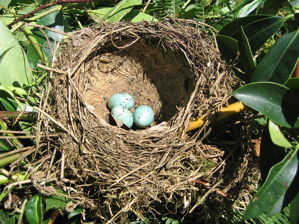 Un nid et ses oeufs