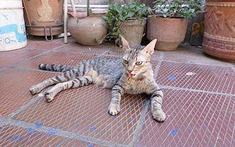 Cat behavior - A cat panting