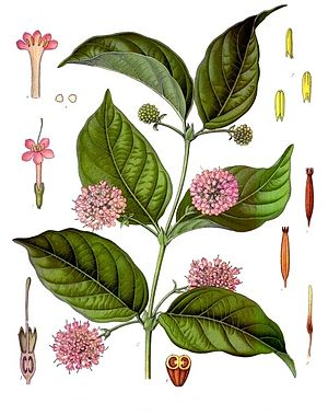 Gambier (extract) - Uncaria gambir, from which gambier is produced