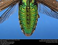 Unidentified Jewel Beetle (Buprestidae) (33661239213).jpg