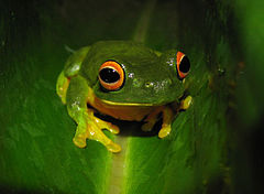 Unidentified frog of Australia.jpg