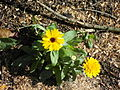 Unknown plant with yellow flowers.JPG