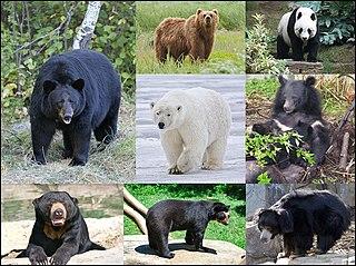 Bear Family of mammals