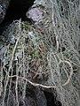 Usnea articulata (L.) Hoffm 298046.jpg