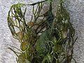 Utricularia vulgaris agg fangblasen.jpeg