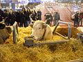 Vache Lourdaise SIA2016.JPG