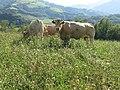Vaches sur les hauteurs de Saint-Étienne-de-Baïgorry.jpg