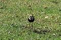 Vanellus chilensis (30037672704).jpg