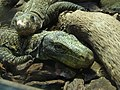 Varanus salvadorii.004 - Zoo Aquarium de Madrid.JPG
