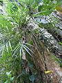 Vegetación de la Reserva de la Biosfera La Amistad Panama (RBLAP) 19.JPG