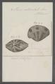 Venus reticulata - - Print - Iconographia Zoologica - Special Collections University of Amsterdam - UBAINV0274 077 12 0005.tif
