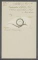 Vibrio serpentulus - - Print - Iconographia Zoologica - Special Collections University of Amsterdam - UBAINV0274 104 01 0002.tif
