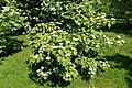 Viburnum wrightii k2.jpg