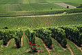 Vignoble Champagne Cl j Weber03 (23651564076).jpg