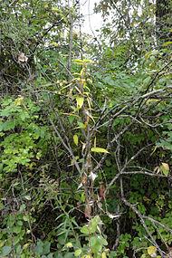 Vincetoxicum rossicum SCA-04860.jpg