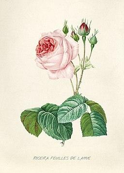Vintage Flower illustration by Pierre-Joseph Redouté, digitally enhanced by rawpixel 65