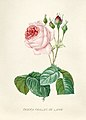 Vintage Flower illustration by Pierre-Joseph Redouté, digitally enhanced by rawpixel 65.jpg