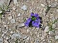 Viola calcarata001.jpg