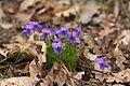 Viola reichenbachiana karlstejn.jpg