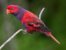 Violet Necked Lory.jpg