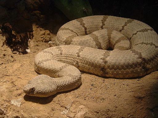 Viper Sp. Nashville Zoo