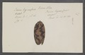 Voluta oliva - - Print - Iconographia Zoologica - Special Collections University of Amsterdam - UBAINV0274 087 11 0016.tif