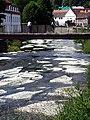 Włosienicznik pędzelkowaty (Ranunculus pseudofluitans) na Białej Lądeckiej PL.jpg