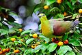 Wedge tailed green pigeon.jpg