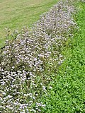 Weed flowers in spring season 03.jpg