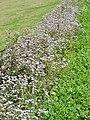 Weed flowers in spring season 03.jpg