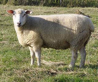 German Whiteheaded Mutton sheep breed