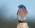 Western Bluebird (m) (37938912111).jpg