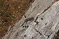 Western Fence Lizard - Sceloporus occidentalis (42904150572).jpg