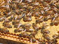 Western Honey Bees and Honeycomb Closeup.JPG
