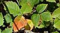 Western Poison Ivy (Toxicodendron rydbergii) - MacGregor Point Provincial Park.jpg
