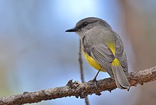 A grey and yellow bird sitting on a small branch
