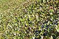 Whidbey Island leaves.jpg