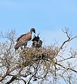 White-backed Vultures (Gyps africanus) adult feeding chick on nest ... (33236011832).jpg