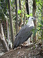 White-bellied Sea Eagle - Haliaeetus leucogaster - Ninoy Aquino Parks & Wildlife Center 10.jpg