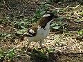 White-browed Sparrow-weaver Plocepasser mahali in Tanzania 1718 Nevit.jpg