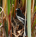 White-browed Wagtail (Motacilla maderaspatensis) collecting waste material from the chicks W IMG 2647.jpg
