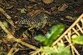 White-crested Tiger-Heron - Ankasa - Ghana 14 S4E2068 (16010535898).jpg