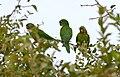 White-eyed Parakeets (Aratinga leucophthalma) Seen only once ... (28794610931).jpg