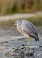White-faced Heron (Egretta novaehollandiae) (37042155035).jpg
