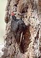 White-headed Woodpecker, Wrightwood, California 2.jpg