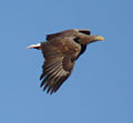 White-tailed sea-eagle 05 (4138639318).jpg