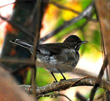White-throated Robin cropped.jpg