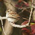 White-throated Sparrow (5129894784).jpg